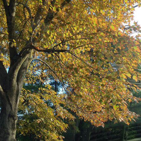 Wordless Wednesday yellow fall tree